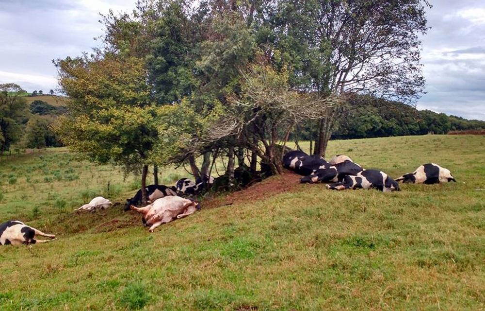 Raio mata 17 vacas em propriedade do município de Barracão.
