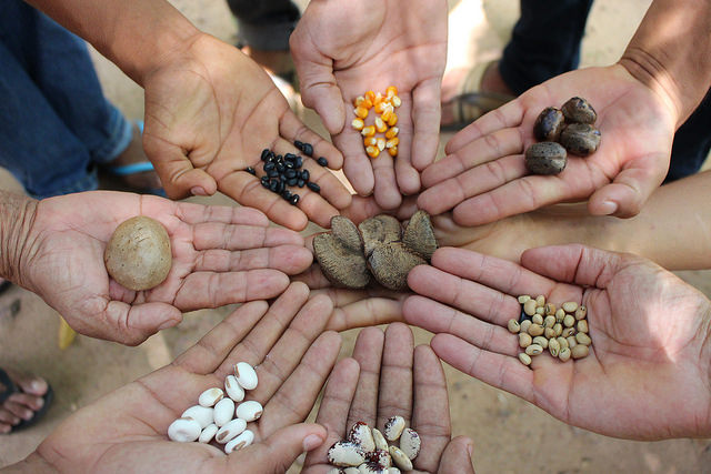 Ir para  <p><big>A troca, a livre distribui&ccedil;&atilde;o e o armazenamento das melhores sementes &eacute; uma das pr&aacute;ticas mais comuns das comunidades tradicionais, mas esta heran&ccedil;a cultural do cultivo...
