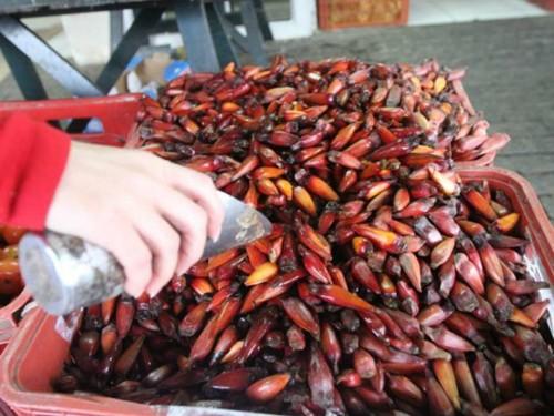 PATRAM alerta sobre proibição da colheita e venda de pinhão
