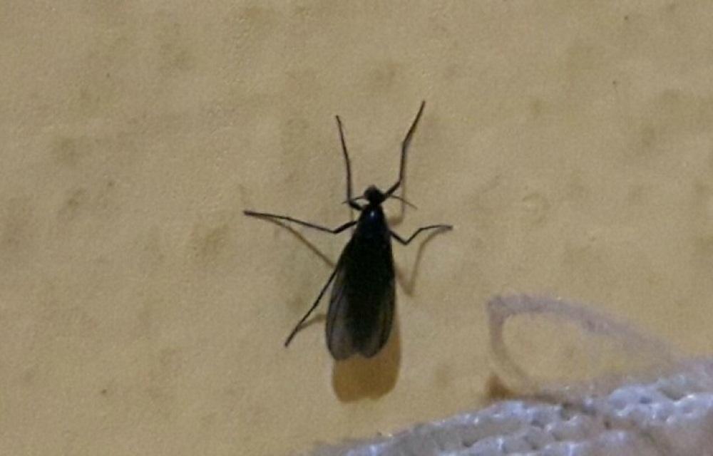 Ir para  <p>A vigil&acirc;ncia ambiental de Lagoa Vermelha ainda estuda a nova esp&eacute;cie de inseto que passou a infestar a regi&atilde;o nas &uacute;ltimas semanas. Um animal voador, do g&ecirc;nero Bradysia, tem causado...