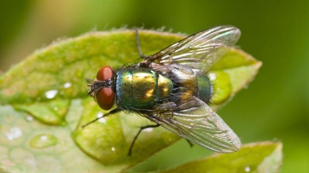 Ir para  <p><big>Trata-se da terapia larval ou larvoterapia, que, como o nome sugere, &eacute; o uso de larvas, no caso de moscas, para a cicatriza&ccedil;&atilde;o de ferimentos que resistem &agrave;...