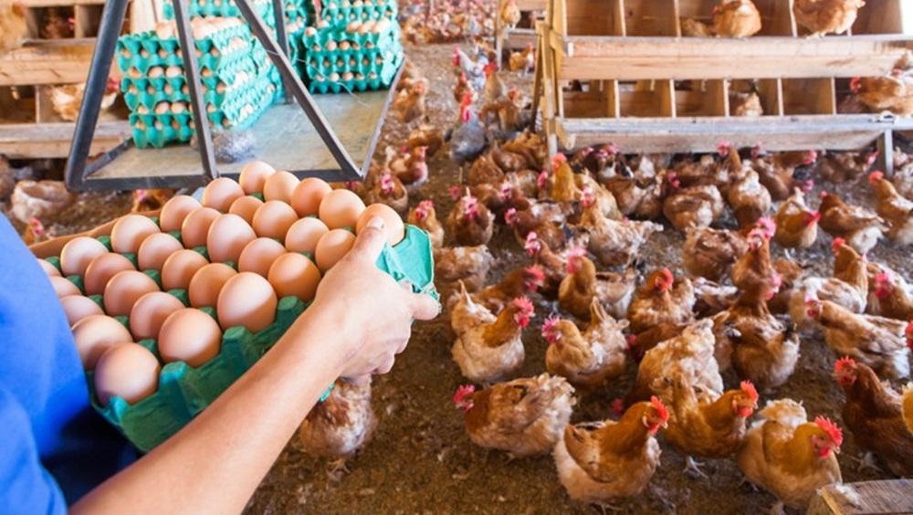 Ir para  <p>Omercado de ovos vive um cenário de baixa liquidez e preços pressionados neste mês. A informação é do Centro de Estudos Avançados em Economia Aplicada...