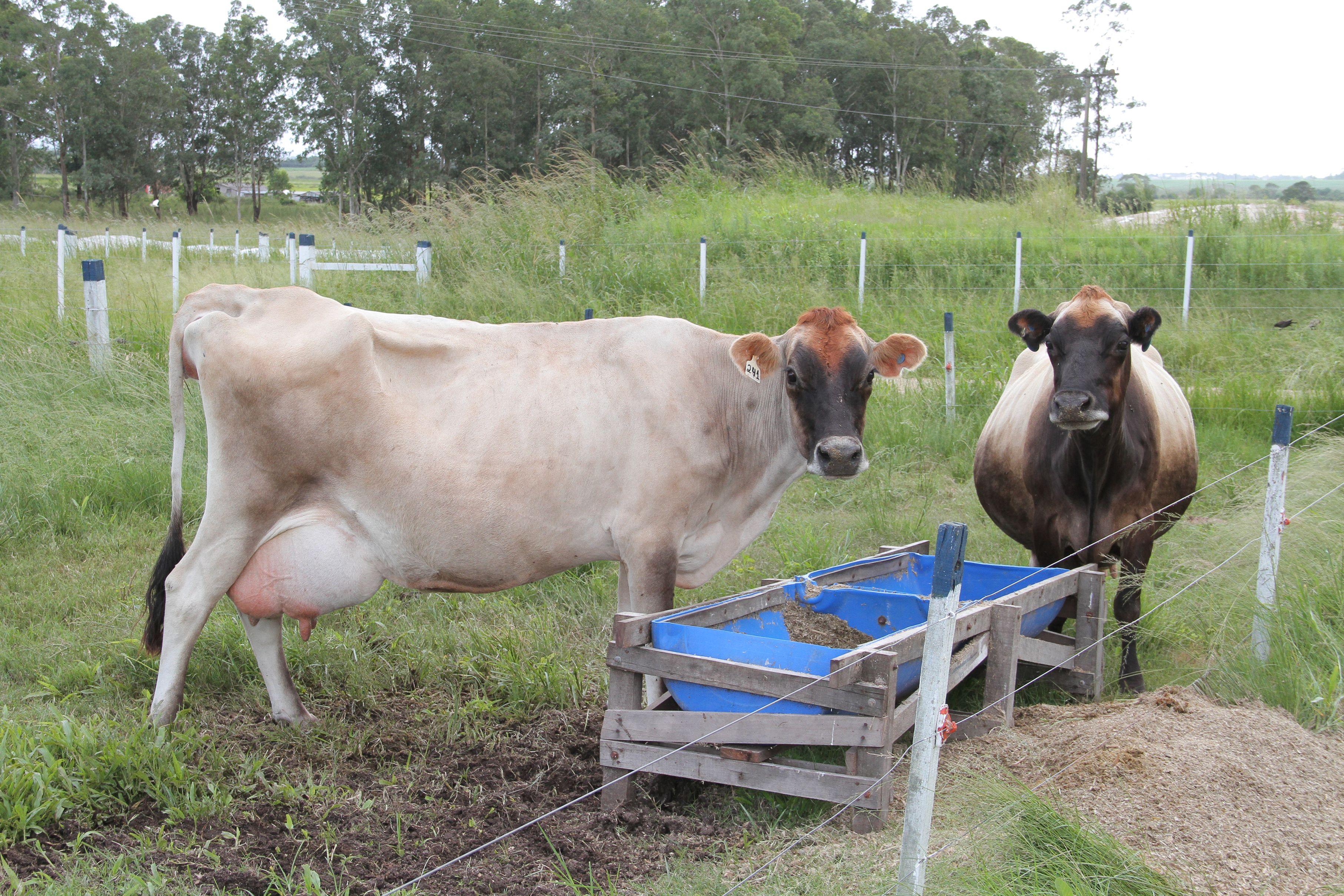 Produtores de leite conhecem o potencial da silagem de Capim-Elefante para enfrentar escassez de pastagens