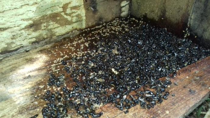 Ir para  <p>Tendo como poss&iacute;vel causa a contamina&ccedil;&atilde;o por aplica&ccedil;&atilde;o inadequada de inseticida nas lavouras, abelhas de 200 colmeias de seis criadores de S&atilde;o Jos&eacute; das...