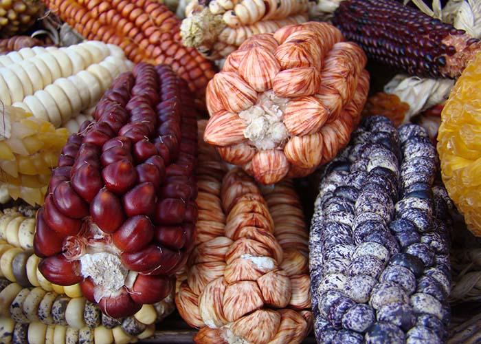 Cientistas se baseiam em evidências genéticas e arqueológicas para uma nova versão da história do milho