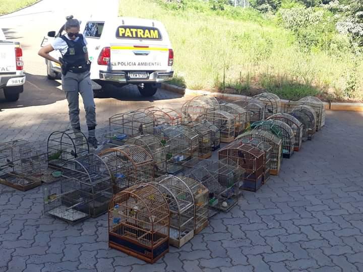Ir para  <p><big>A Patram apreendeu nas última horas pelo menos 100 pássaros silvestres em gaiolas numa residência de Erechim. Após averiguações a guarnição...