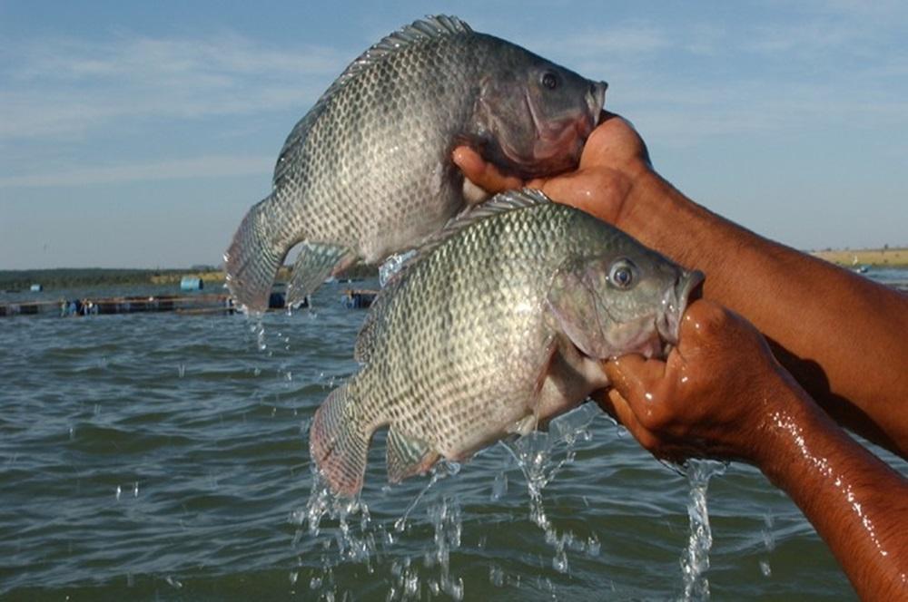 Ir para  <p>O crescente investimento brasileiro na genética para peixes visa transformar o país em um dos principais produtores de tilápia, hoje só perde para a China, Indonésia e Egito. A...