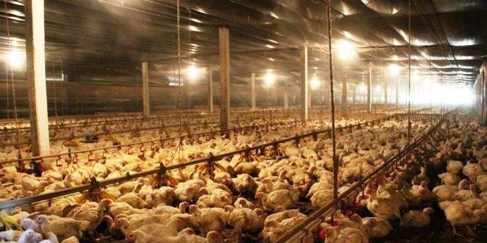 Anvisa proíbe venda de lotes de frango da Perdigão.