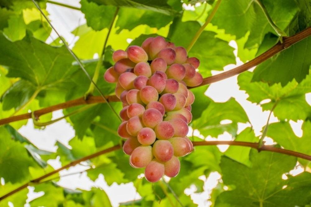 Ir para  <p>A&nbsp;Embrapa Uva e Vinho lan&ccedil;ou duas novas cultivares de uva adaptadas ao clima temperado do Sul do pa&iacute;s: a BRS Melodia, uva rosada de mesa sem sementes, e a BRS Bibiana, para elabora&ccedil;&atilde;o...