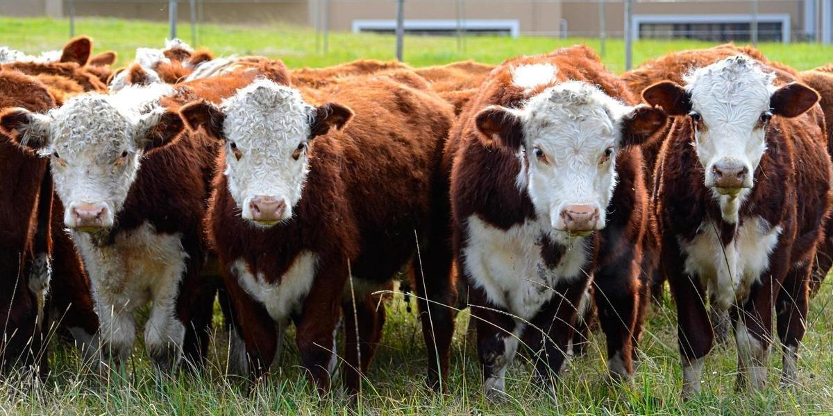 Ir para  <p>O Minist&eacute;rio da Agricultura, Pecu&aacute;ria e Abastecimentou (Mapa) informou na manh&atilde; desta quinta-feira que reabriu o mercado de carne bovina para a China. A exporta&ccedil;&atilde;o havia...
