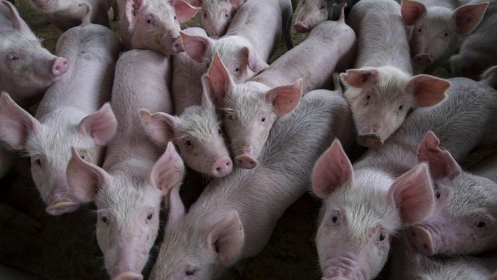 Peste suína levou a abate de 3,7 mi de animais na Ásia, estima FAO.