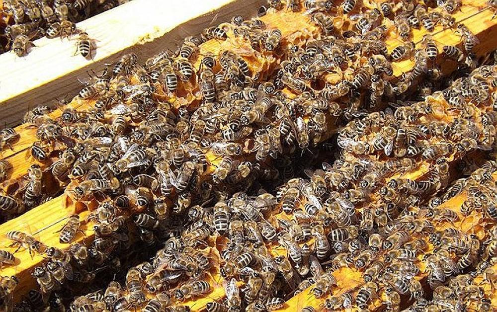 MP encaminha pedido de suspensão de inseticida que causou mortandade de abelhas no RS