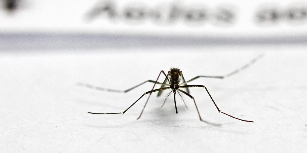 Ir para  <p>O Rio Grande do Sul tem 99 cidades onde a infesta&ccedil;&atilde;o do mosquito Aedes aegypti &eacute; considerada como situa&ccedil;&atilde;o de alerta ou de alto risco de transmiss&atilde;o da dengue, chikungunya...