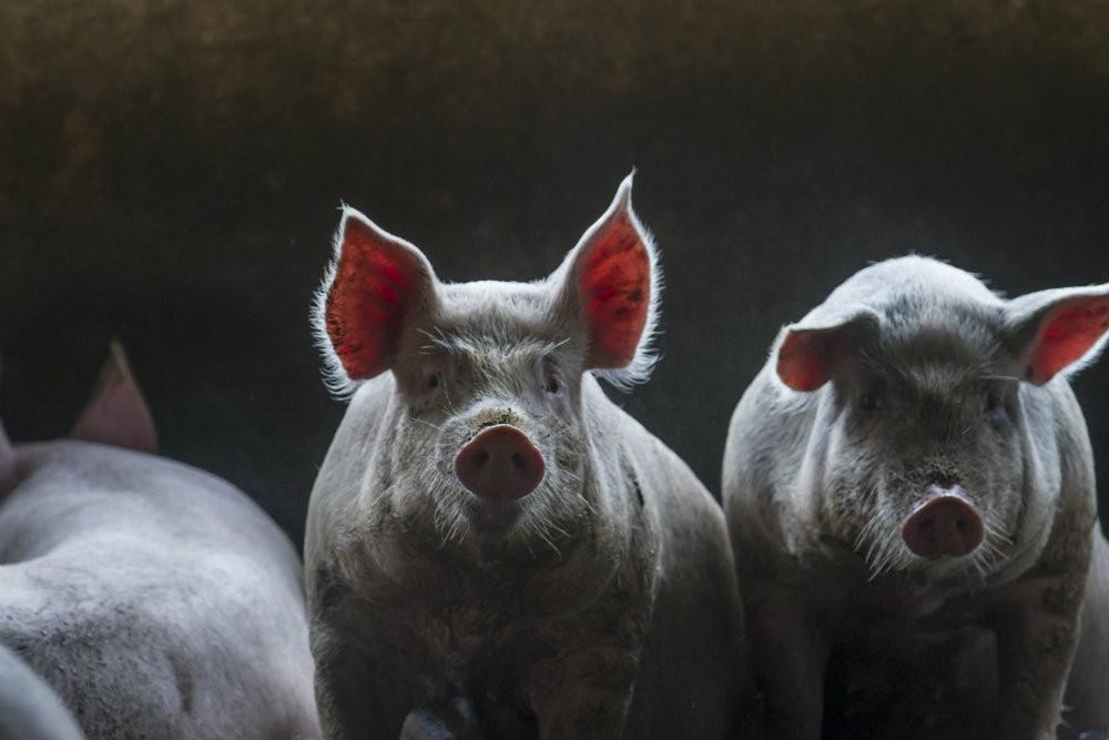 Ir para  <p><big>As estat&iacute;sticas divulgadas pela Secretaria de Com&eacute;rcio Exterior (Secex) mostram que as m&eacute;dias di&aacute;rias das exporta&ccedil;&otilde;es de carne su&iacute;na in natura nas...