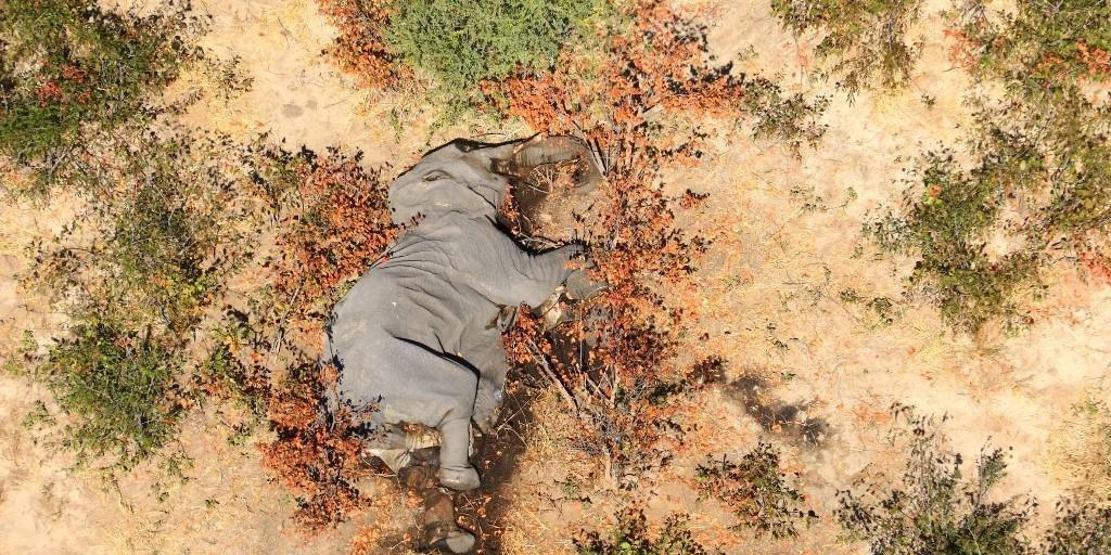 Centenas de elefantes são encontrados mortos por causa de bactéria em Botsuana.