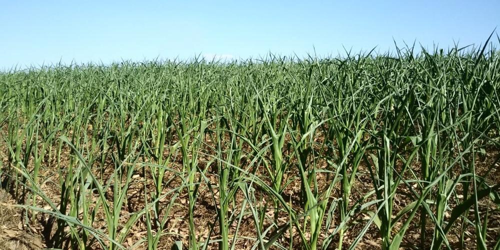 Ir para  <p><big>O d&eacute;ficit h&iacute;drico tem prejudicado as lavouras na regi&atilde;o do Alto Uruguai, que est&aacute; h&aacute; mais de 40 dias sem ocorr&ecirc;ncia de precipita&ccedil;&otilde;es....