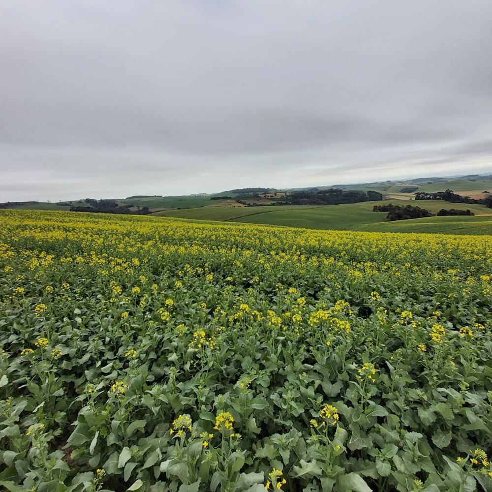 Ir para  <p><big>A cultura oleaginosa de inverno, &quot;Brassica napus&quot;, conhecida como CANOLA, mat&eacute;ria prima do biocombust&iacute;vel biodiesel, n&atilde;o &eacute; novidade mas est&aacute; ganhando...